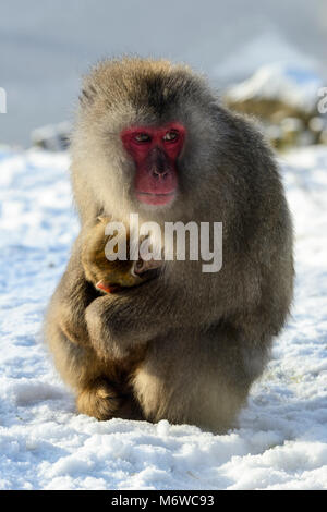Female with young Japanese Macaque or Snow Monkey (Macaca fuscata) at Highland Wildlife Park, Kincraig, Kingussie, - Stock Photo
