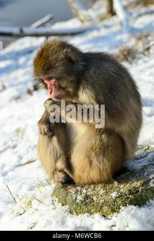 Japanese Macaque or Snow Monkey (Macaca fuscata) at Highland Wildlife Park, Kincraig, Kingussie, Scotland, UK - Stock Photo