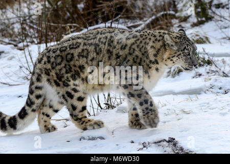Captive snow leopard (Panthera uncia) at Highland Wildlife Park, Kincraig, Kingussie, Scotland, UK - Stock Photo