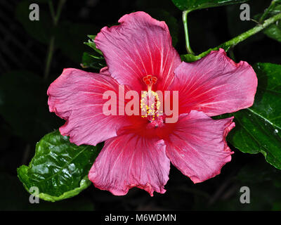 Beautiful Hibiscus rosa-sinensis (known colloquially as Chinese hibiscus, Hawaiian hibiscus, China rose, rose mallow) - Stock Photo
