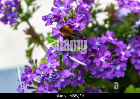 close up of a a bee sitting on a purple flower - Stock Photo
