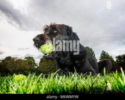 Low viewpoint of a black Labradoodle dog lying on the grass in a park with a tennis ball in its mouth - Stock Photo