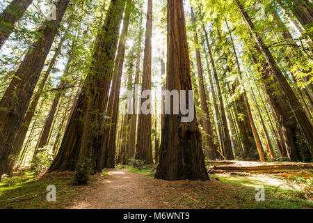 Giant redwood trees in Humboldt Redwoods State and National Park along the Rockefeller Loop in Avenue of the Giants, - Stock Photo