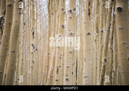 A grove of knotted white aspen trees in Santa Fe, New Mexico