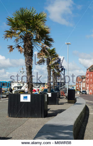 View of the large palm trees along the Quay at Poole, Dorset, England, - Stock Photo