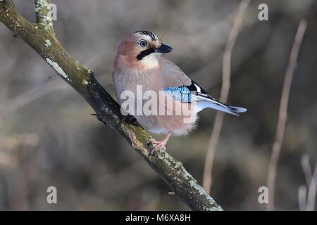 Eurasian jay (Garrulus glandarius) sitting half-turned on a branch, looking for food. - Stock Photo