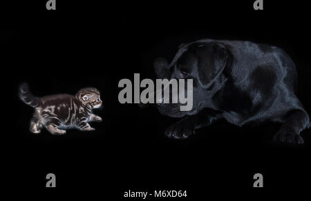 Large black labrador dog attentively looks at small kitten Scottish Fold - Stock Photo