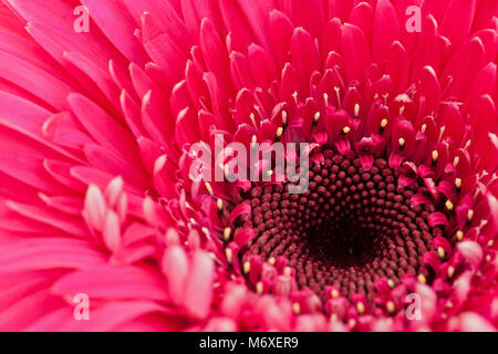 Giant red pink daisy - Gerbera L. is a genus of plants Asteraceae. It was named in honour of German botanist and - Stock Photo