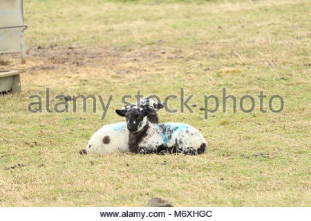 Baby Lambs seated in a pasture field during winter, Essex, UK. - Stock Photo