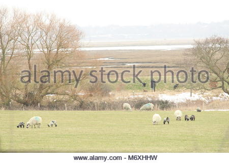 Pastoral landscape scene during winter -  a farmer walking at the edge of his field while his herd of British sheep - Stock Photo