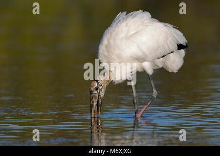 Wood Stork (Mycteria americana) feeding in a shallow lagoon - Pinellas County, Florida - Stock Photo