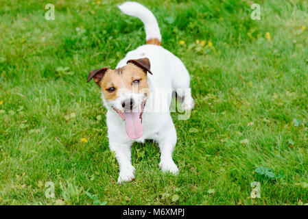 Obedient dog looking up waiting for handlers command - Stock Photo