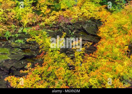 Vine Maple, Acer circinatum, Upper McKenzie River National Recreation Trail, Willamette National Forest, Oregon - Stock Photo