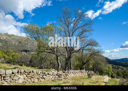 Bare Narrow-leafed ash tree, Fraxinus angustifolia, next to a stone wall in Guadarrama Mountains, El Boalo, Madrid, - Stock Photo