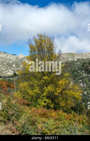 Narrow-leafed ash tree, Fraxinus angustifolia, in the Callejas stream, in the Sierra de los Porrones, Guadarrama - Stock Photo
