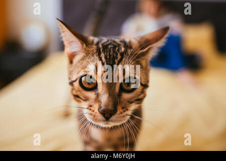 Bengal cat comes to a woman while she reads on the bed - Stock Photo