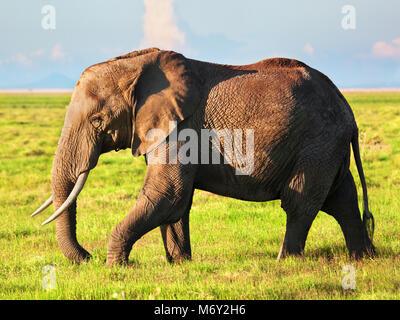 Elephant portrait on African savanna. Safari in Amboseli, Kenya, Africa - Stock Photo