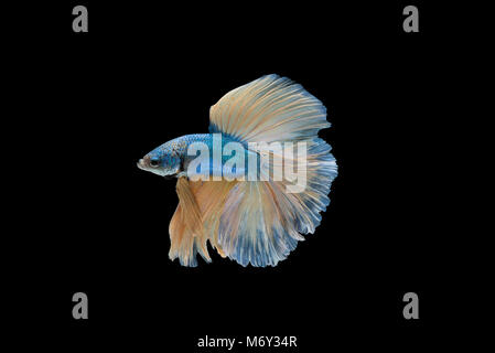Blue and yellow Halfmoon Betta splendens or siamese fighting fish isolated on black background included clipping - Stock Photo