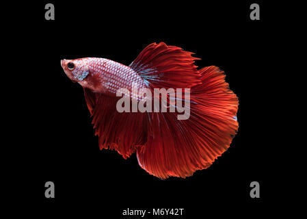 Red Halfmoon Betta splendens or siamese fighting fish isolated on black background included clipping path, Plakat - Stock Photo