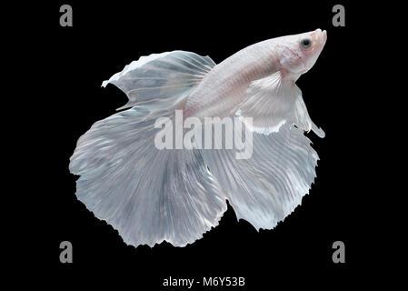White Halfmoon Betta splendens or siamese fighting fish isolated on black background, Plakat Thailand - Stock Photo