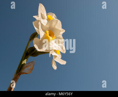 Daffodils in spring. Blooming Narcissus, Narcissus, in the garden, Spring bulbs - Stock Photo