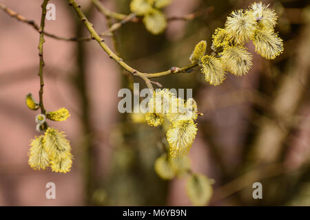Blossoming willow twigs on a Sunny day. - Stock Photo