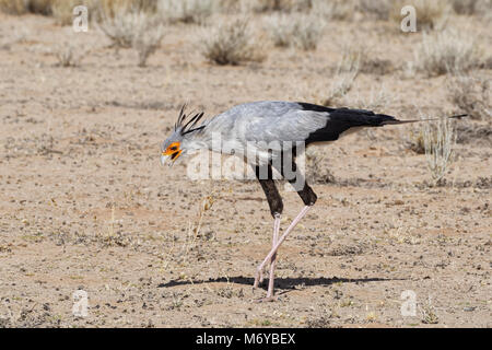 Secretary bird (Sagittarius serpentarius), adult, looking for prey, concentrated, Kgalagadi Transfrontier Park, - Stock Photo