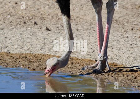 South African ostrich (Struthio camelus australis), adult male drinking at a waterhole, Kgalagadi Transfrontier - Stock Photo
