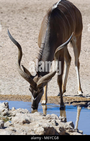 Greater kudu (Tragelaphus strepsiceros), adult male drinking at a waterhole, Kgalagadi Transfrontier Park, Northern - Stock Photo