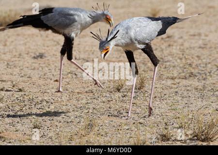 Secretary birds (Sagittarius serpentarius), adults, looking for prey, concentrated, Kgalagadi Transfrontier Park, - Stock Photo