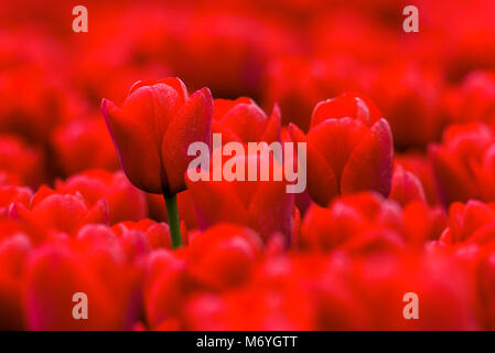 Red tulips flowering in a field in Holland during spring. One tulip stands out on its stem and by depth of field - Stock Photo