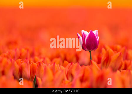 A single purple white tulip is flowering during springtime in a field full with orange tulips. The single tulip - Stock Photo