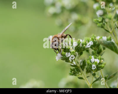 Close up of a communal mining bee feeding on an Origanum flower - Stock Photo