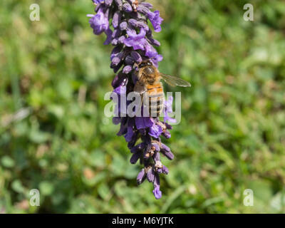 Close up of a honey bee feeding on a lavender flower spike - Stock Photo
