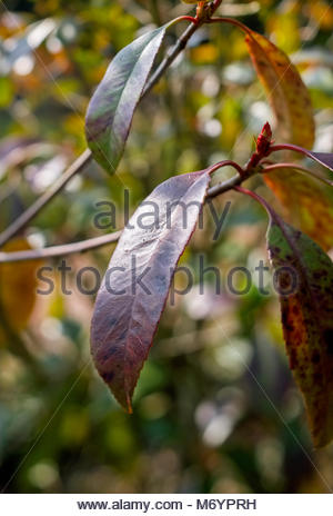 Photinia fraseri, Red Robin, ornamental, tree, shrub, showing red-tipped leaves in early March, Germany. - Stock Photo