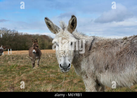 A pair of donkeys in a field in the New Forest area, the front donkey Is looking directly towards the camera, with - Stock Photo
