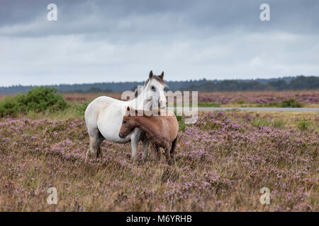 New Forest ponies, a grey mother and her chestnut foal, in the late summer heather. Hampshire, UK. - Stock Photo