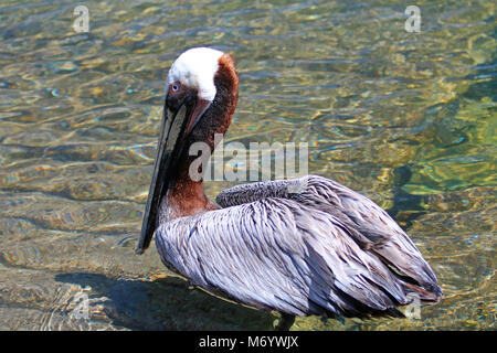 California Brown Pelican in Cabo San Lucas marina in Baja California Mexico BCS - Stock Photo