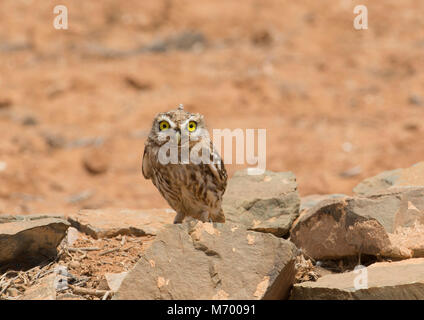 A Juvenile Little Owl (Athene noctua) sat on rock in the desert of Morocco North Africa - Stock Photo