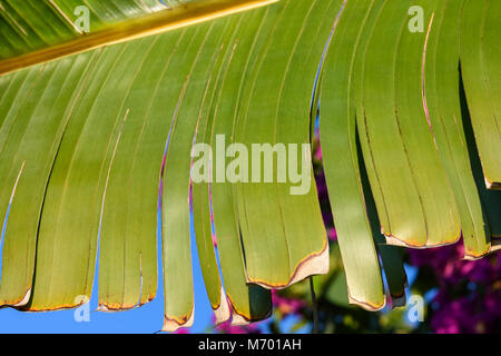 Real tropical leaves background, jungle foliage. Closeup, macro of Traveler's Palm, Ravenala Fan Palm leaf against - Stock Photo
