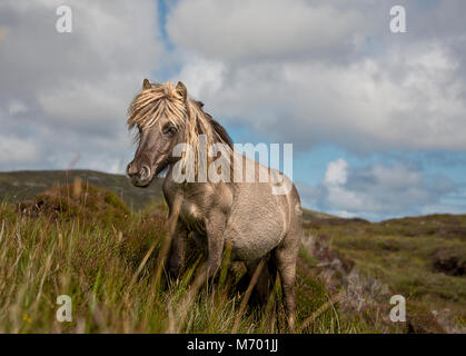 Shetland pony south Uist outer Hebrides Scotland - Stock Photo