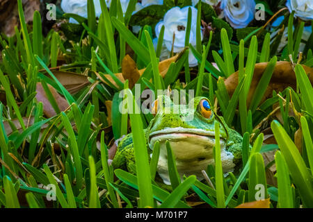 A frog hides in the grass in front of white flowers. - Stock Photo