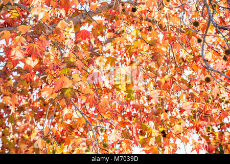 Sweetgum fall foliage in La Jolla, California - Stock Photo