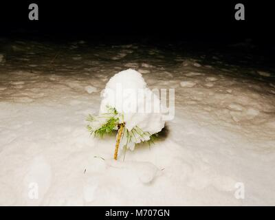 Frozen fresh snow on pine tree branches in dark  night, close up picture - Stock Photo