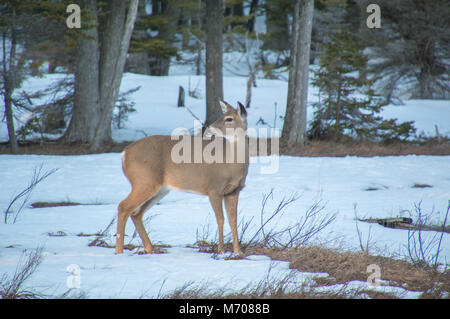 White tailed deer by  cedar trees in winter with snow, vigilant - Stock Photo