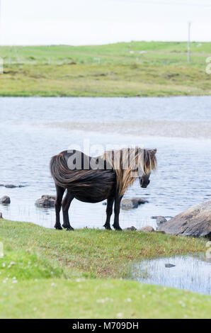 Wild ponies on the hills at Lochdruidibeg, Isle of South Uist, Outer hebrides, Scotland, UK - Stock Photo