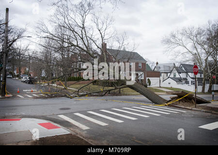 A large London Plane tree that was blown over during a March Nor'Easter in Flushing, Queens, New York City. - Stock Photo