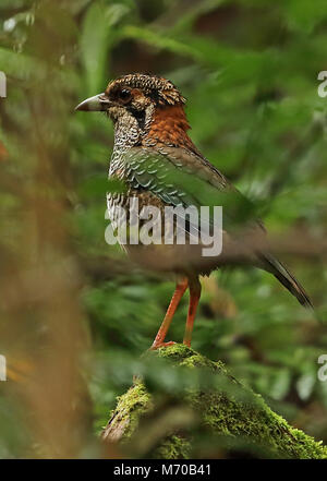 Scaly Ground-roller (Geobiastes squamiger) adult standing on fallen log, Madagascan endemic  Mantadia National Park, - Stock Photo
