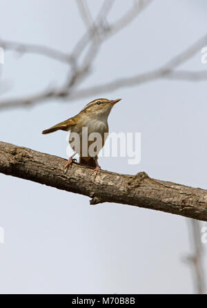 Pale-legged Leaf Warbler (Phylloscopus tenellipes) adult standing on branch wingflicking  Hebei, China          - Stock Photo