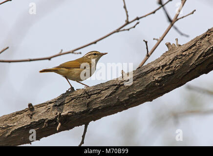 Pale-legged Leaf Warbler (Phylloscopus tenellipes) adult standing on branch  Hebei, China           May - Stock Photo